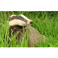 Badger taken at the British Wildlife Centre.  More pictures can be found below. http://www.fli...