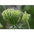 queen anne lace swallowtail black caterpillar