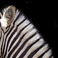 black white zebra
