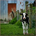 cow moo calf ireland