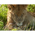 Lion Kenya Wildlife Animals Nature MasaiMara