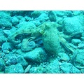 Octopus Diving Tenerife