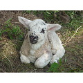 New born lamb
