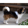INDY pet Shihtzu mix Pankey dog papagenasdogclub