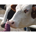 animals animal nature cow