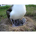 laysan albatross midway atoll hawaii chick birds nature