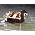 A family of ducks, this unusual for this time of year.