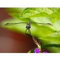 Macro dragonfly mkass