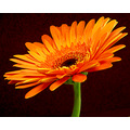 bright orange daisy flower green stem