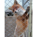 A fox in captivity. Slavonski Brod, Slavonia, Croatia, winter 2005