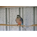 birds dad rosa bourke parrott