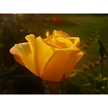 morning yellow flower rose