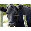 cow cattle animal farmanimal closeup
