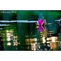 scenery water flower lily light