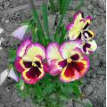 flower pansies