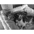 zzz sleeping kittens tabby cat adopt rescue