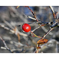 macro red berry