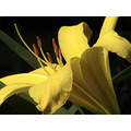 flower lily close up stamen yellow
