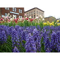 FreethemeFriday flowers tulips grapehyacinths architecture cityscape