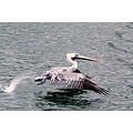 pelican bird aquatic flight pankey wildlife wildspirit carlsbirdclub