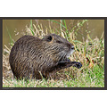 Nutria also known as Coypu (Myocastor coypus), 