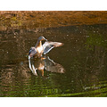 reflectionthursday mallard duck wild bird carlsbirdclub