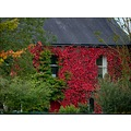 Autumn colour house ivy trees nature