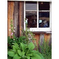 barn skoenlaper window foxglove