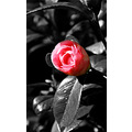 nature flower camillia rose closeup spring black white
