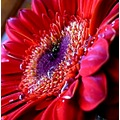 flower macro close up red vibrant colours waterdrops