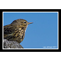 Natural History Wildlife Bird Skylark Spideylj