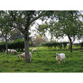 6. In the field opposite the church were some sheep who seemed to have enjoyed our rehearsal.