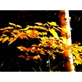 Yellow maple ... just outside my cottage door last weekend.