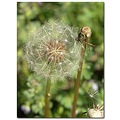 dandelion flower nature seeds
