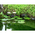 reflectionthursdayLillies pond garden hotel walk Sanur today bali littleollie