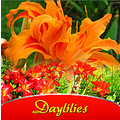 Decadentdaylilies