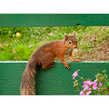 red squirrel Sciurus vulgaris wildlife nikon D300s 85mm micro