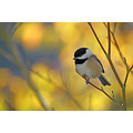 Birds Chickadee Burnaby BC