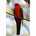 king parrot bird wildlife nature