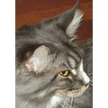 Cats Maine Coon Silver