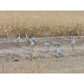 Sandhill cranes feeding in the fields above marsh