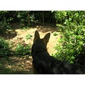 Dog animal pet ruben canine GSD german shepherd alsation doberman cross mixed