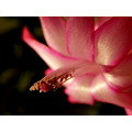 schlumbergera flower color red macro