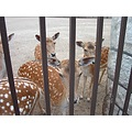 deer animal Marineland NiagaraFalls Canada