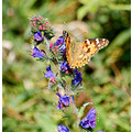 painted lady vipers bugloss braunton burrows butterfly