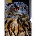 eagleowl bird feathers big eyes orange
