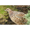 wildlife bird pheasant female