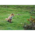 fox abbotsham devon