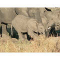 Botswana ChobeRiver Elephants Wildlife