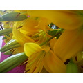 Flowers Lily Yellow